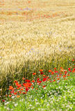 Wheat field with poppy field Royalty Free Stock Photo