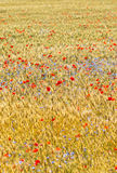 Wheat field with poppy field Stock Photography
