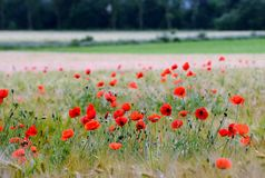 Wheat field with poppy flowers Royalty Free Stock Photography