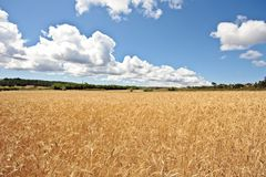 Wheat field in Portugal Royalty Free Stock Image