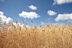 Wheat field in Portugal Stock Photography