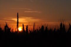 Wheat field profile Stock Photo