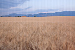 Wheat field in Provence with abandoned farmhouse Stock Photo