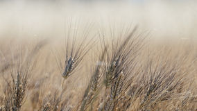 Wheat field in Provence Stock Photography