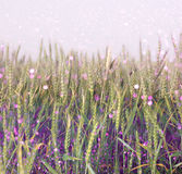 Wheat field and purple bokeh lights. filtered image Stock Photo