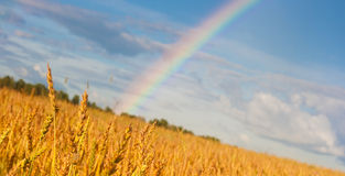 Wheat field after rain with rainbow Stock Photo