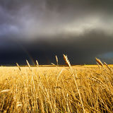 Wheat field and rainbow on cloudy sky Royalty Free Stock Images