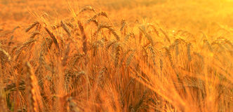 Wheat field in rays of rising sun Stock Image