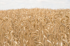 Wheat field. Ready for harvest Royalty Free Stock Photos