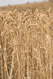 Wheat field. Ready for harvest Stock Image