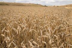 Wheat field. Ready for harvest Stock Photos