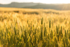 Wheat field. Ready for harvest Royalty Free Stock Photography