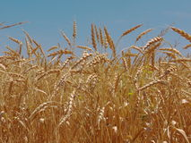 Wheat field ready for harvest. Weat field with blue sky, wheat ears ripe for harvesting Royalty Free Stock Image