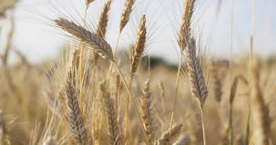 Wheat field ready for harvest Stock Photography