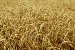 Wheat field ready to be harvested Stock Images