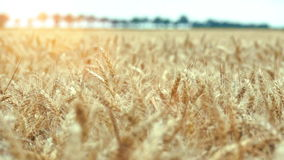 Wheat field ready to be harvested stock video footage