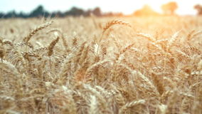 Wheat field ready to be harvested stock video