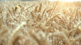 Wheat field ready to be harvested stock footage