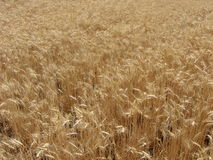 Wheat Field. Almost ready to harvest Stock Photo