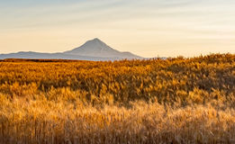 Wheat Field Ready to Harvest in Central Oregon. A field of wheat ready to harvest in Wasco, County, Oregon.  Mount Hood in the distance Stock Image