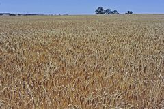 Wheat Field Ready To harvest, New Norcia, Victoria plains, W.A. stock image