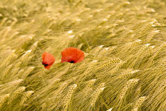 Wheat field with red poppies.  Royalty Free Stock Images