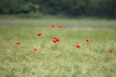 Wheat field with red poppies Stock Image