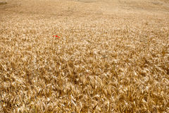 Wheat field with red poppy Stock Photos