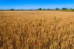 Wheat Field Red Poppy Royalty Free Stock Photos