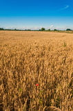 Wheat Field Red Poppy Stock Photography