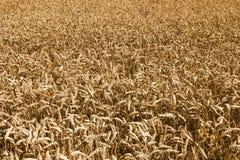 Wheat field in Rheinland-Pfalz, Germany Royalty Free Stock Photo
