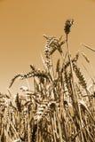 Wheat field in Rheinland-Pfalz, Germany Royalty Free Stock Photography