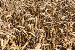 Wheat field in Rheinland-Pfalz, Germany Stock Photo