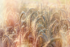 Wheat field - rich harvest in summer Royalty Free Stock Photos