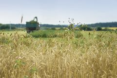 Wheat field, ripe barley, rye field, sunny day, working combine harvester, harvesting wheat cereal in farm. Agricultural stock image