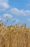 Wheat field. Ripe wheat field and blue sky. Ukraine Royalty Free Stock Image