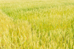 Wheat field that is ripe ear Stock Images
