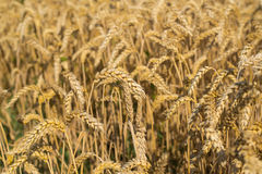 Wheat field. Ripe ears of wheat waiting for threshing Royalty Free Stock Photos