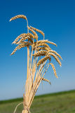 Wheat field. Ripe ears of wheat waiting for threshing Royalty Free Stock Photo