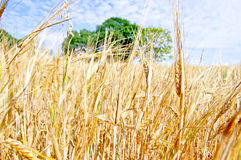 Wheat Field. Field of ripe golden wheat Stock Photography