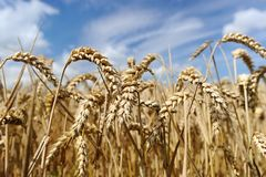 Wheat field. Ripe grain field before harvest Royalty Free Stock Photography