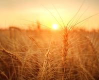 Free Wheat Field Ripe Grains And Stems Wheat On Background Dramatic Sunset, Season Agricultures Grain Harvest Stock Photo - 154212180