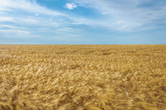 Wheat field. Ripe wheat field under bright blue sky in summer Stock Photography