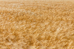 Wheat field. Ripe yellow wheat field background. Bright summer day Royalty Free Stock Image