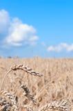 Wheat Field. Ripening ears of yellow wheat field under blue sky stock photo