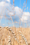 Wheat Field. Ripening ears of yellow wheat field under blue sky royalty free stock photography