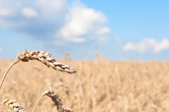 Wheat Field. Ripening ears of yellow wheat field under blue sky royalty free stock images