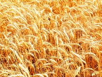 Wheat field with ripening golden ears royalty free stock image