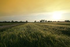 Wheat field with road royalty free stock photography
