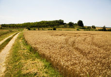 Wheat field with road on left side Stock Photo